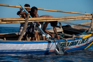 Before raising the shark in a boat, the fishermen must ensure that he is already dead and block his mouth with an oar