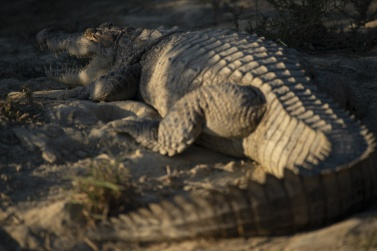 The Mugger crocodile. The inhabitants of Baluchistan call it -Gando-, due to its particular walk that always makes its belly crawl on the ground. In their language, -Gando- means -that which crawls on his belly-.
