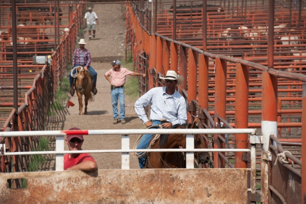 Apache Cattle Auction
