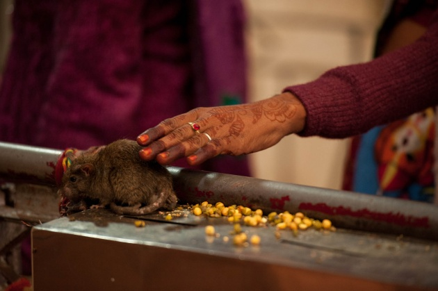 Karni Mata temple in the village of Deshnok in Rajasthan in India. The faithful caress the rats because they consider them sacred